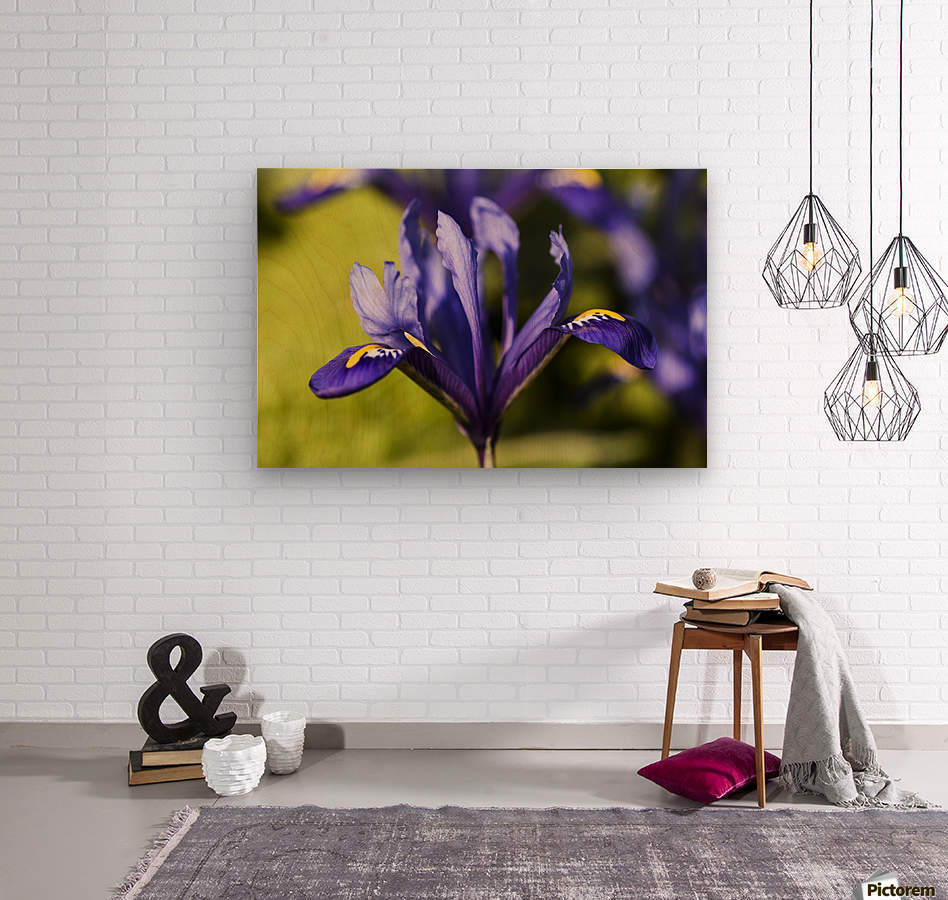 Dwarf Iris blooms in February; Oregon, United States of America  Wood print
