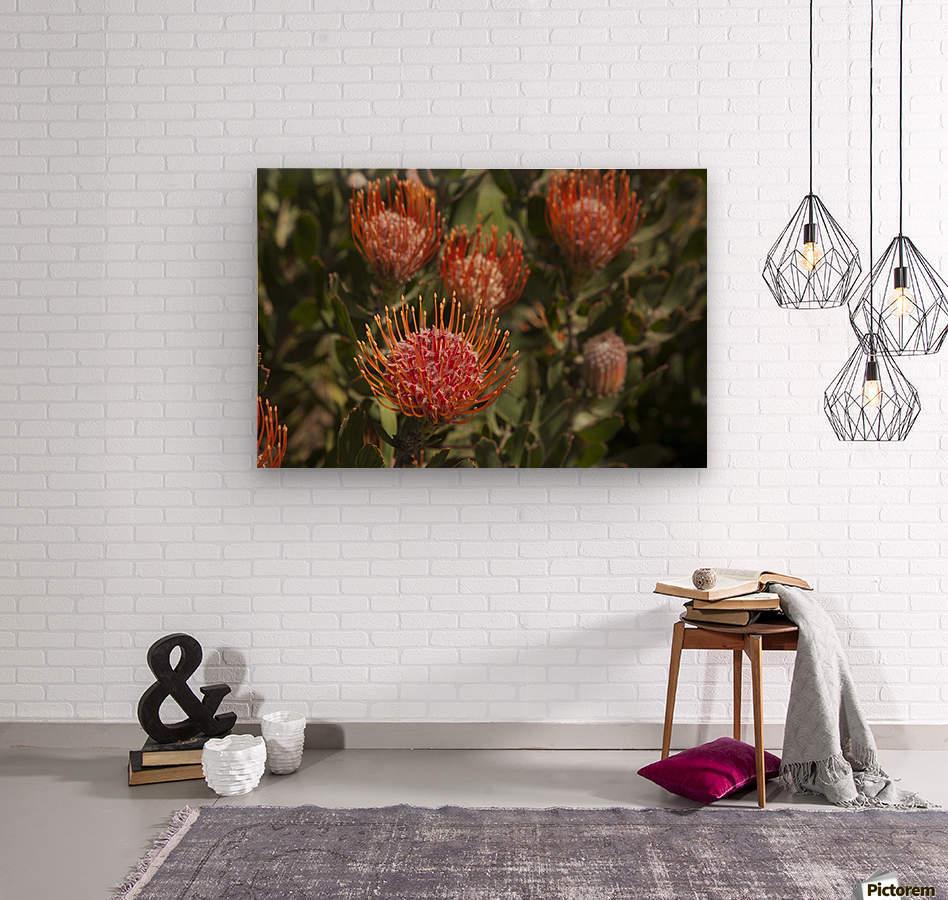 Pincushion (Scabiosa) protea flower; Kula, Maui, Hawaii, United States of America  Wood print