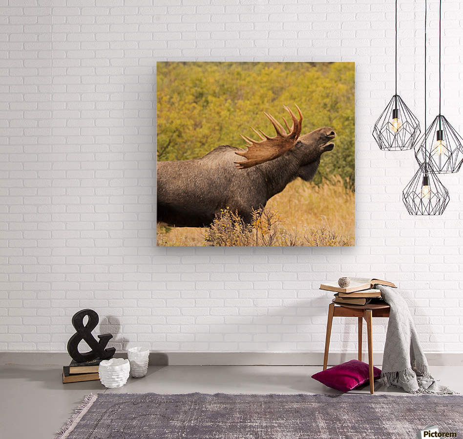 Bull moose (alces alces) doing flehman response to check on cow moose during the rut, South-central Alaska; United States of America  Wood print