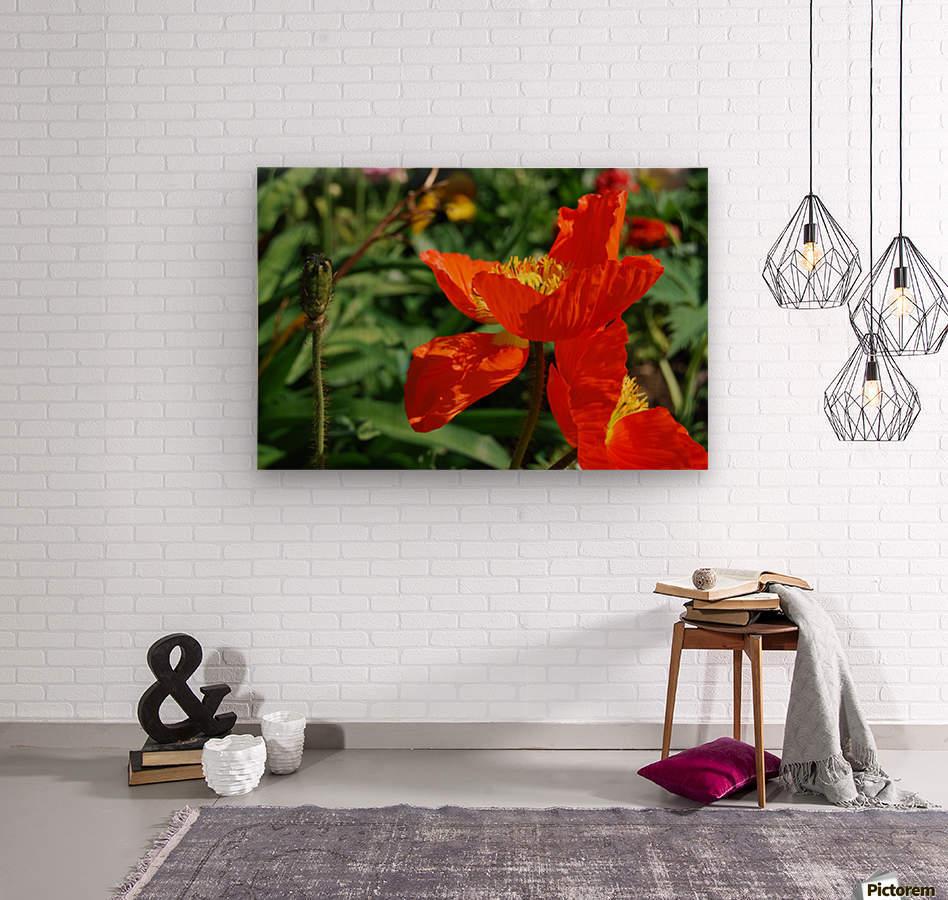 Orange Poppy Flowers Growing  Wood print