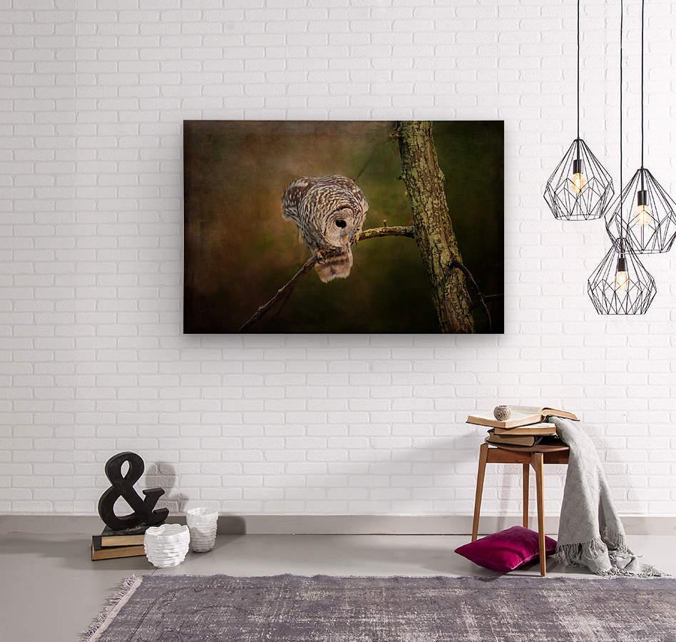 Barred Owl Eyeing Prey.  Wood print