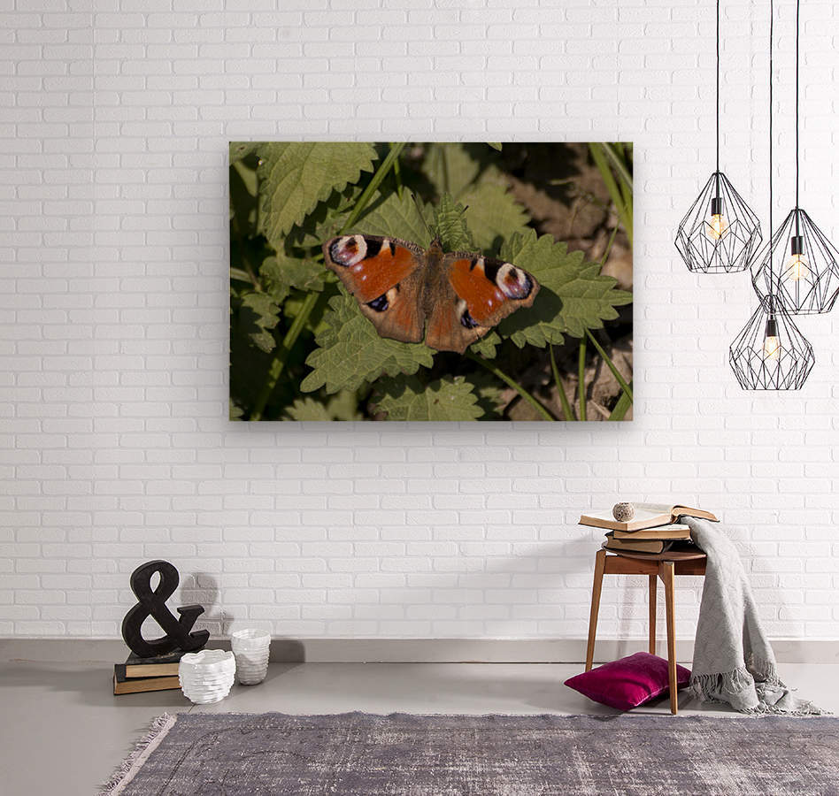 European peacock butterfly  Wood print