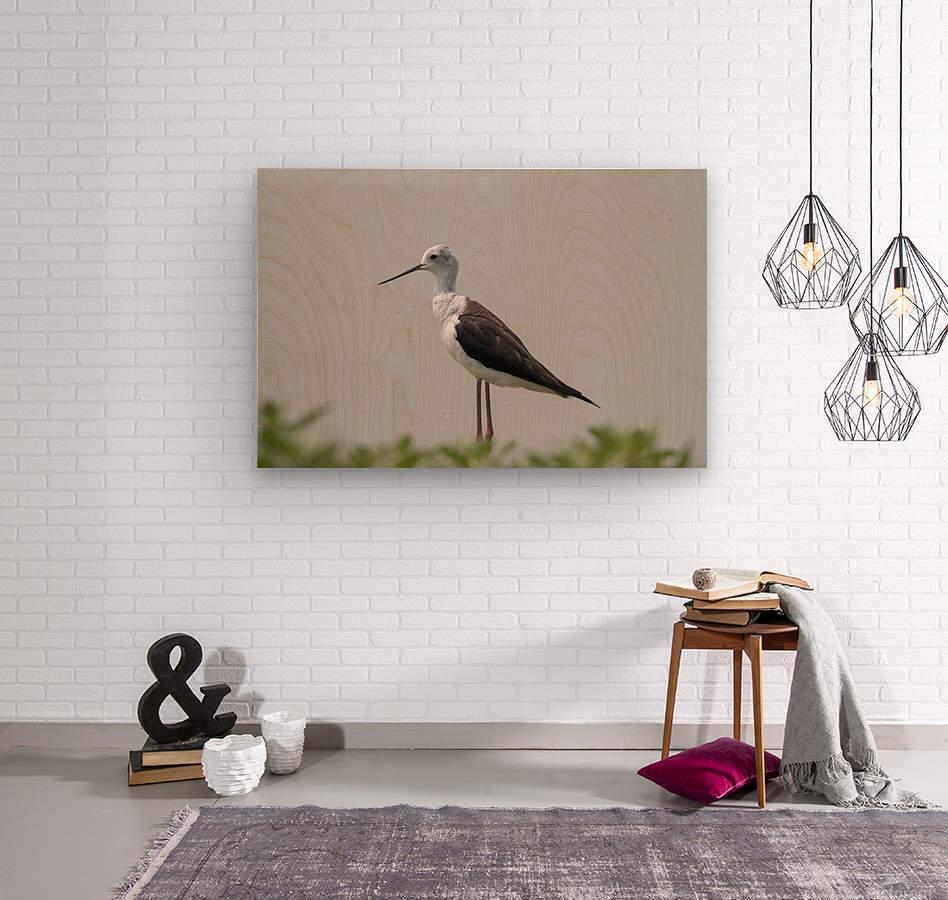 Black winged stilt  Wood print