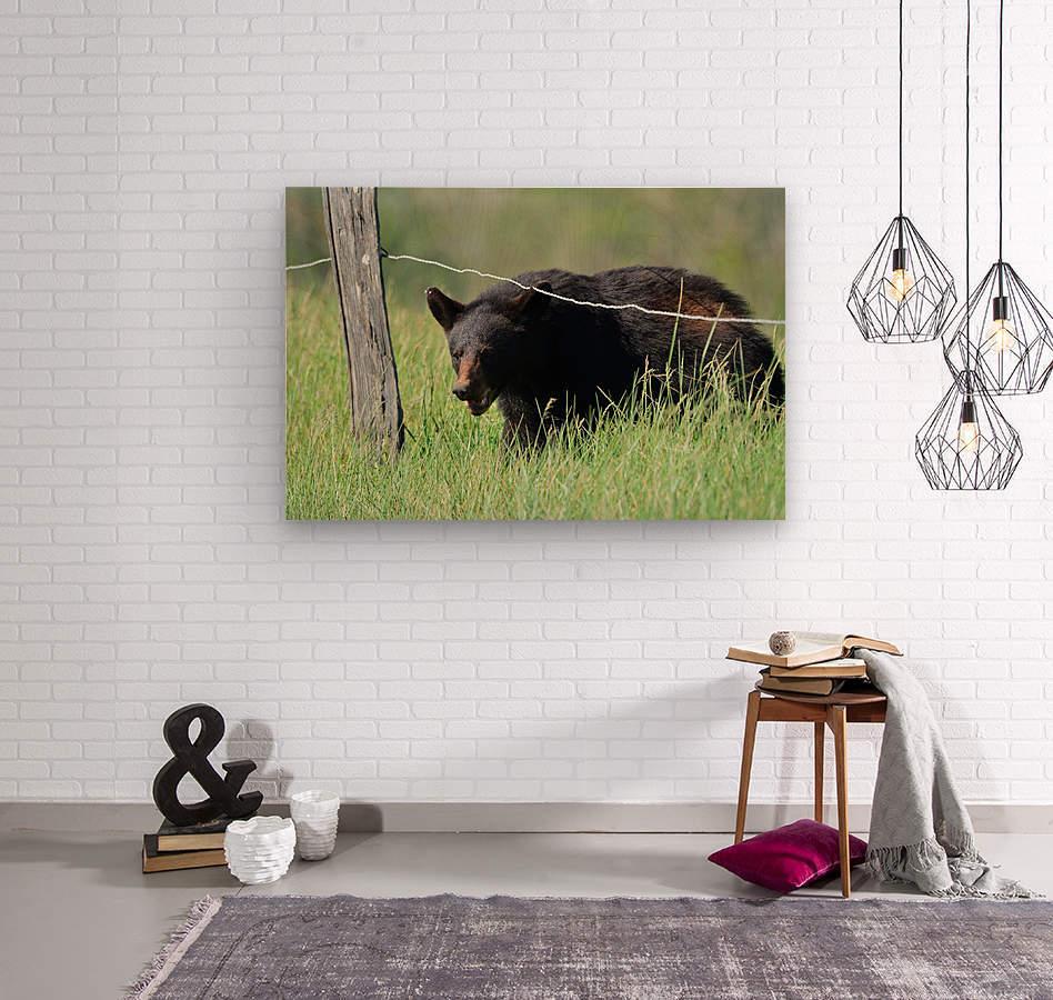 2966-Black Bear  Wood print