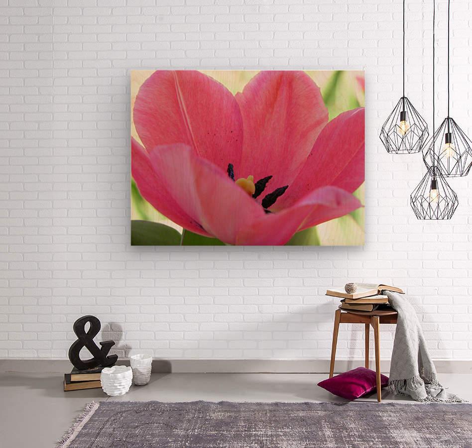 Beautiful Pink Tulip Photograph  Wood print