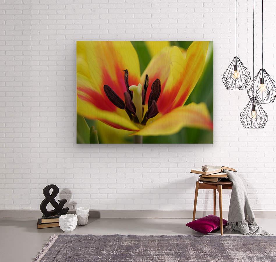Yellow Tulip Photograph  Wood print