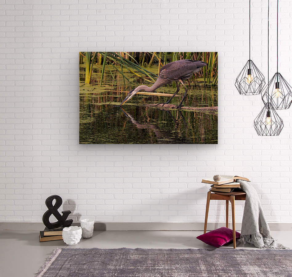 Great Blue Heron taking a Sip  Wood print