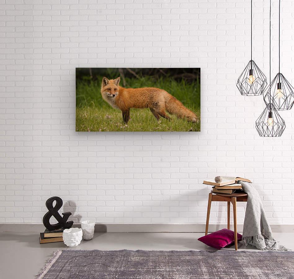 Red Fox Beauty  Wood print