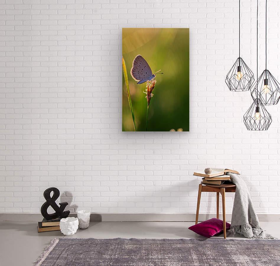 Gray butterfly perching on grass flower  Wood print