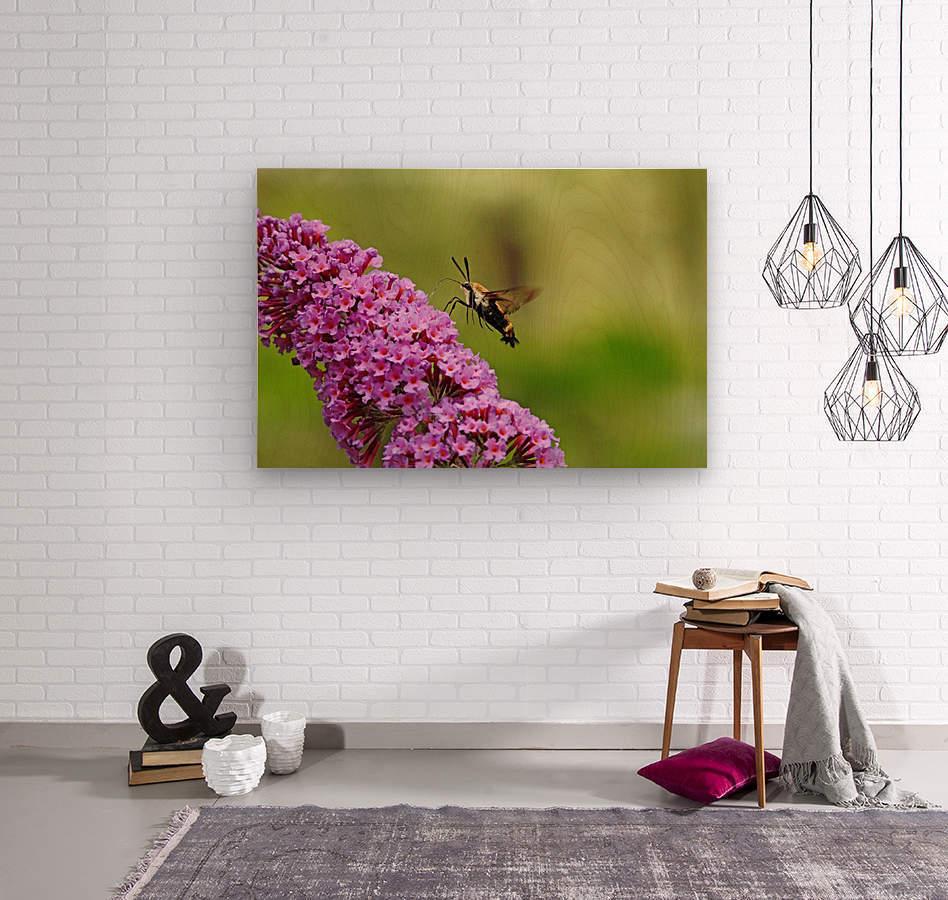 Hummingbird Moth Sipping Nectar  Wood print