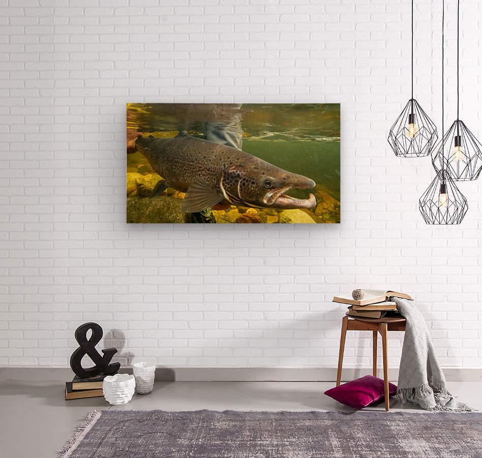 Atlantic salmon Male.   Wood print