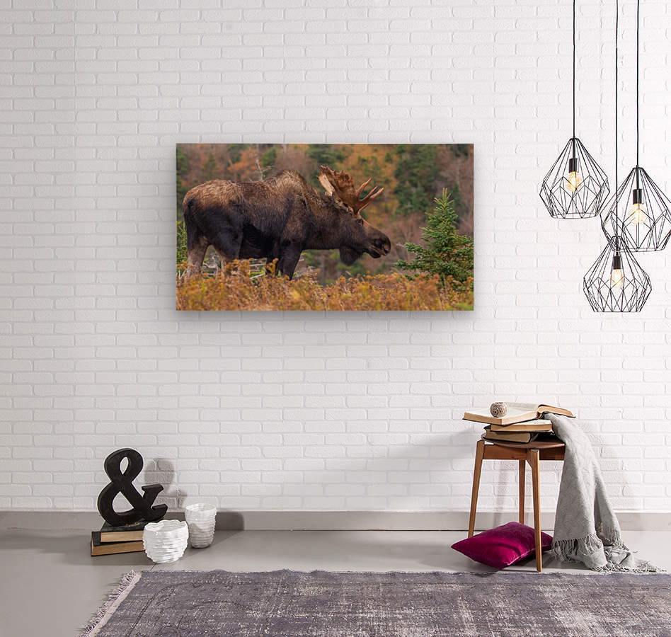 Bull moose on top of Blueberry mountain Cape Breton highlands  Wood print