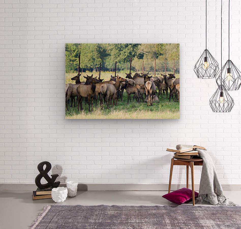 Elk Red Tailed Deer or Wapiti 16  Impression sur bois