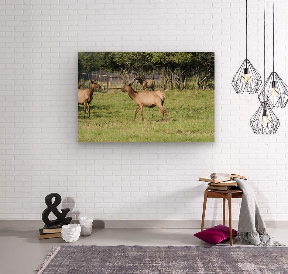 Elk Red Tailed Deer or Wapiti 4  Wood print