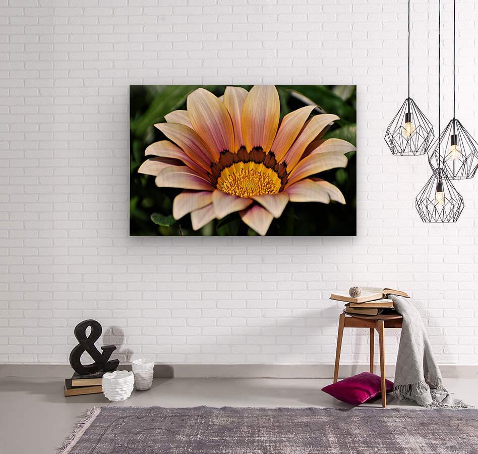 Gazania Flower Photograph in Orange and Pink  Wood print