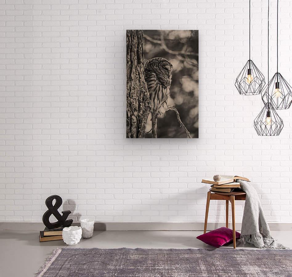 Black and white Barred Owl  Wood print