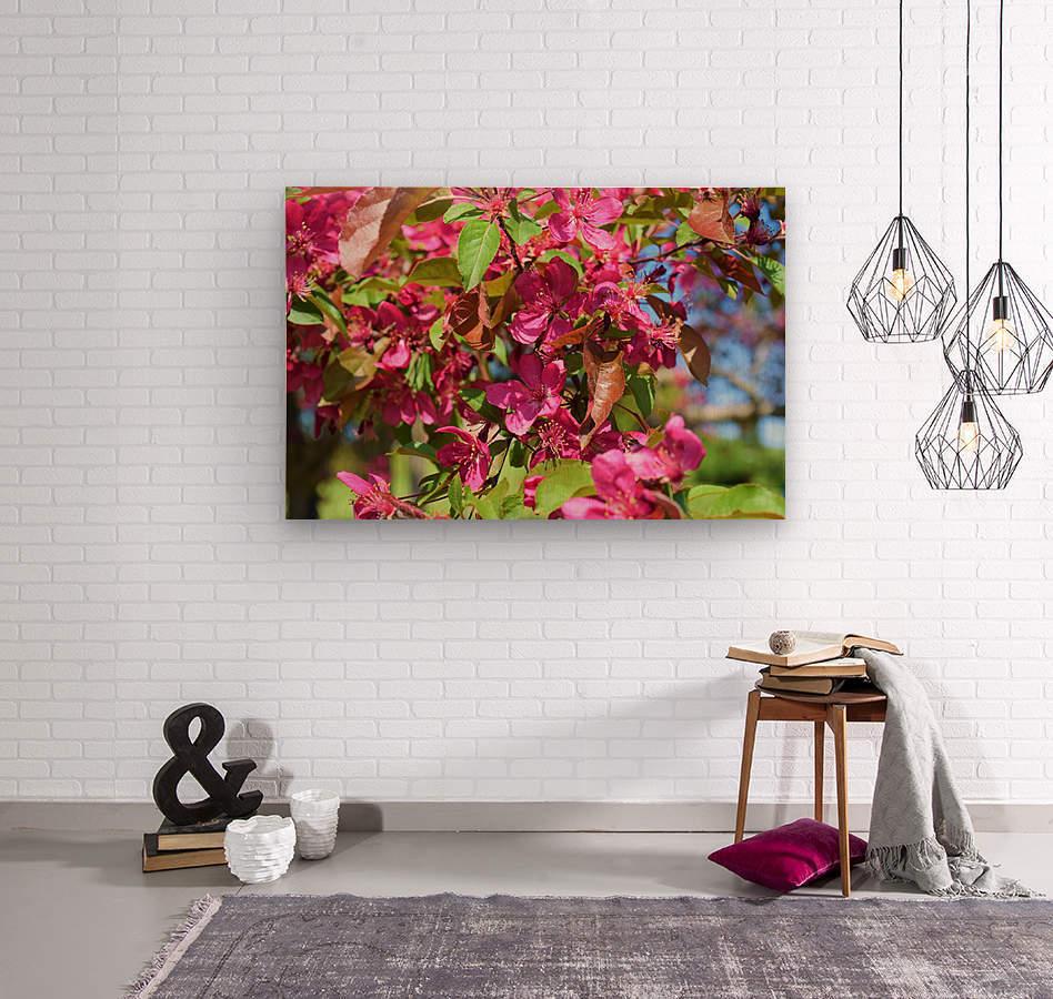 Ticonderoga Crab Apple Flowers in May  Wood print