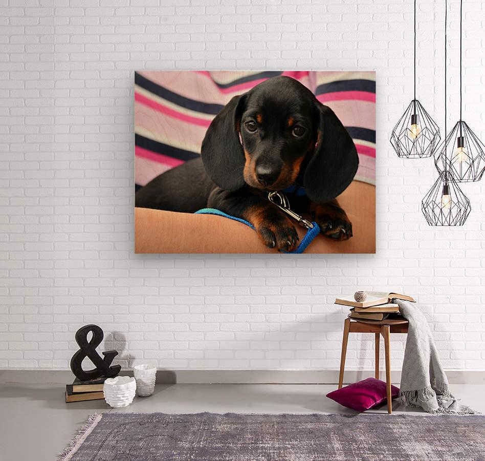 dachshund puppy young animal  Wood print
