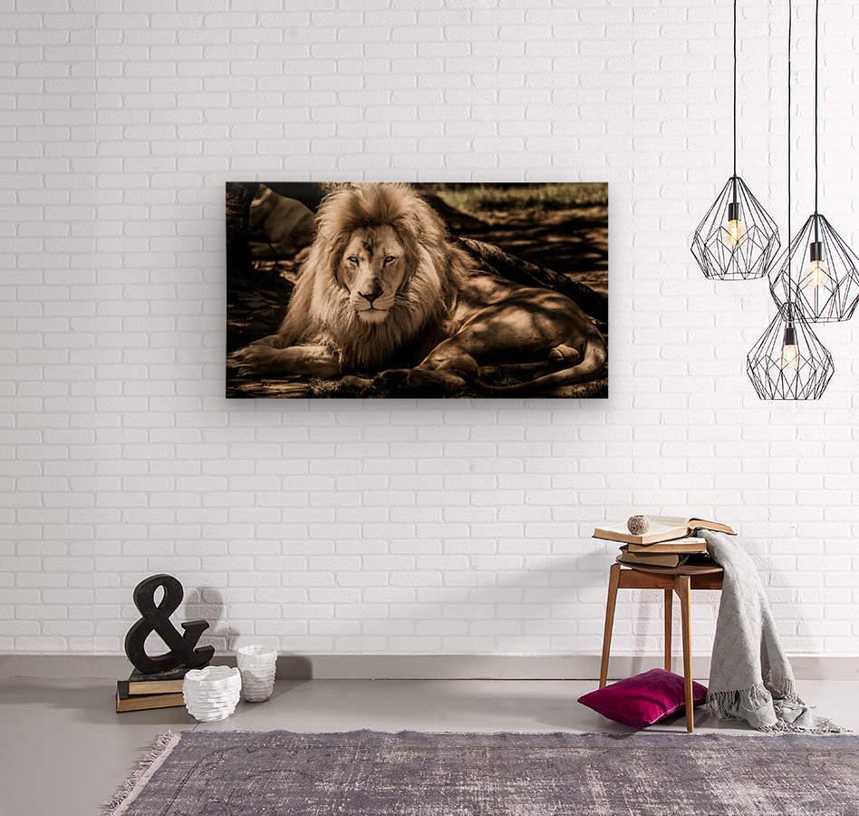mammal lion animal portrait  Wood print