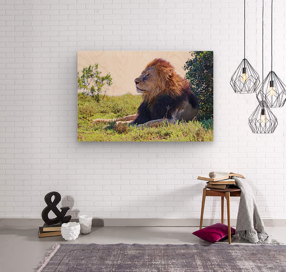 Lion Male in Addo 9240  Wood print