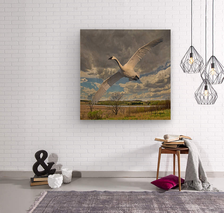 Swan on the Wing  Wood print