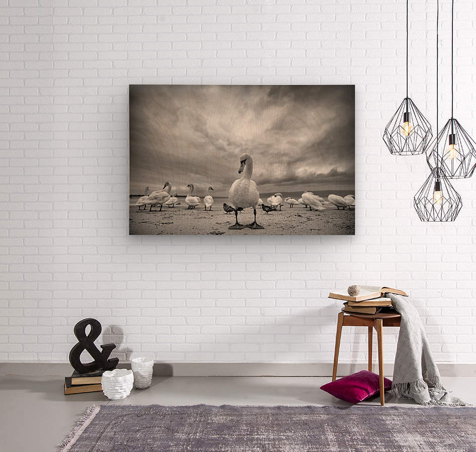 Swans on a winter beach  Wood print