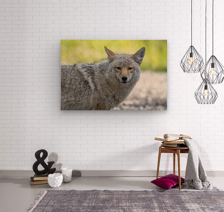 Coyote - Looking at you.  Wood print