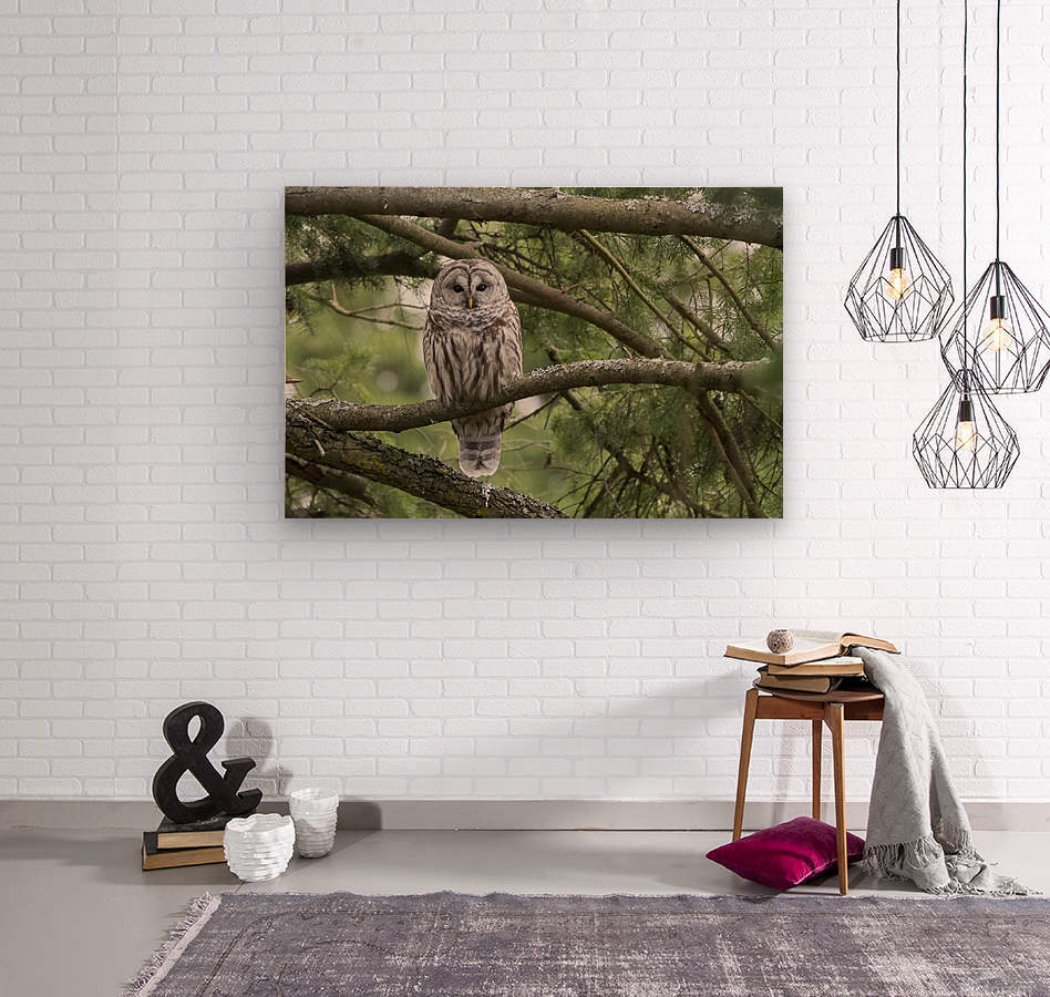 Barred Owl - Eye Contact  Wood print