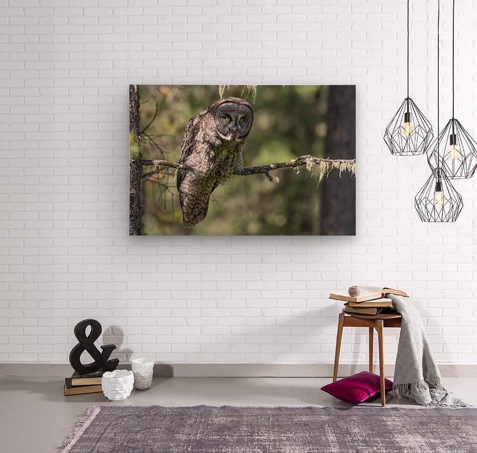 Great Grey Owl - Hunting mode  Wood print