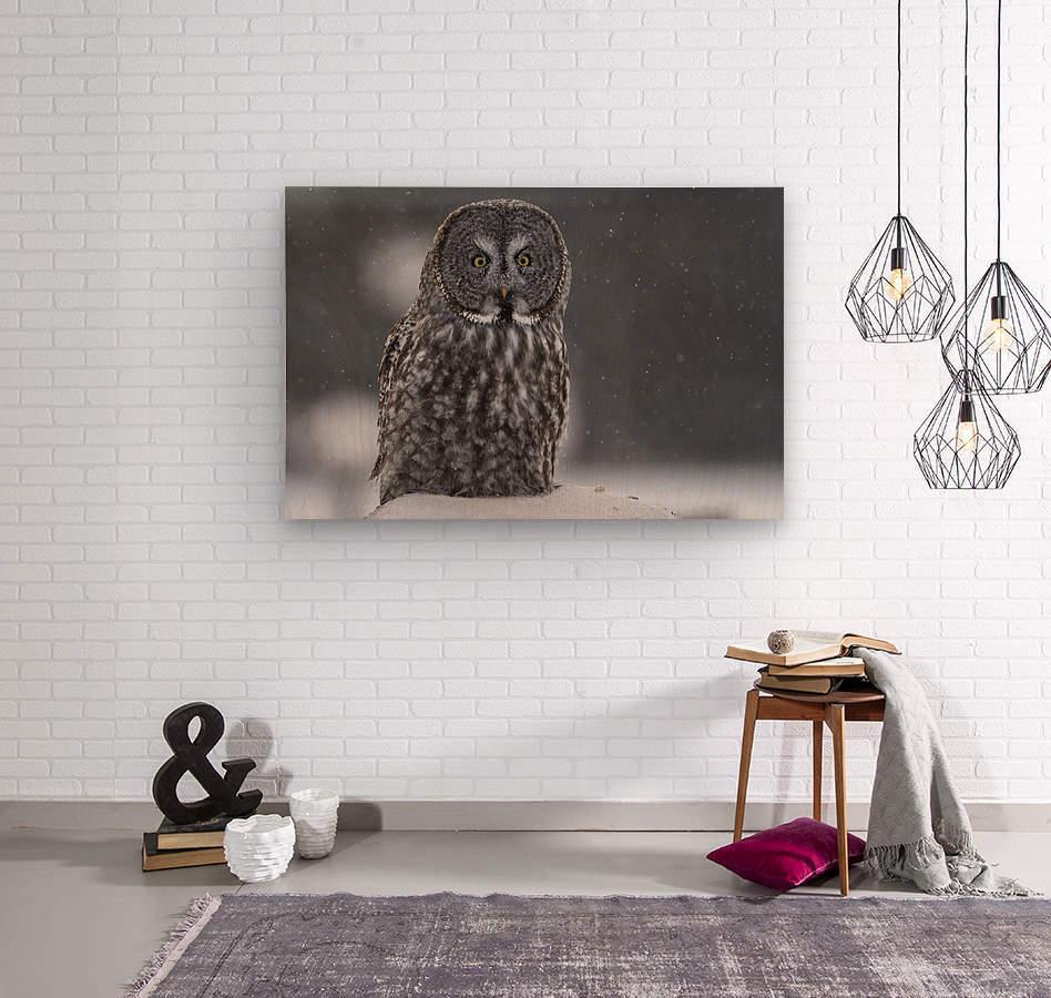Great Grey Owl - Hunting at Sunset  Wood print