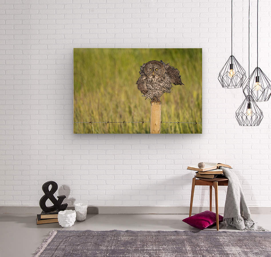 Great Grey Owl - Shaking It Out  Wood print