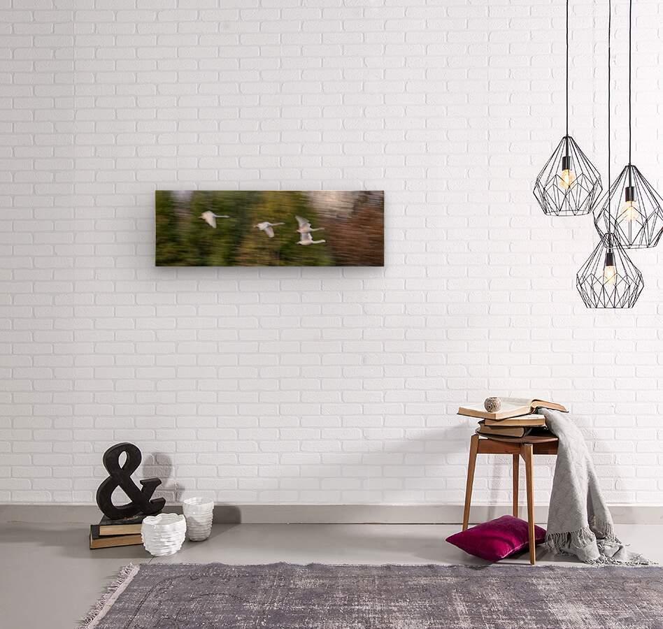 Swan Song ap 2696  Wood print
