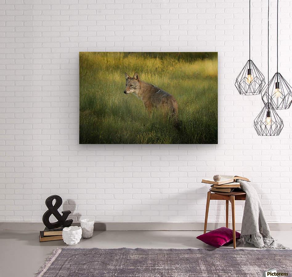 Evening Coyote  Wood print