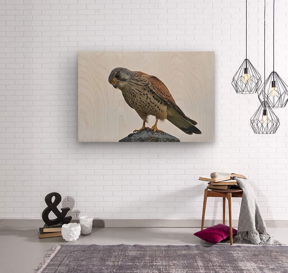 Kestrel  Wood print