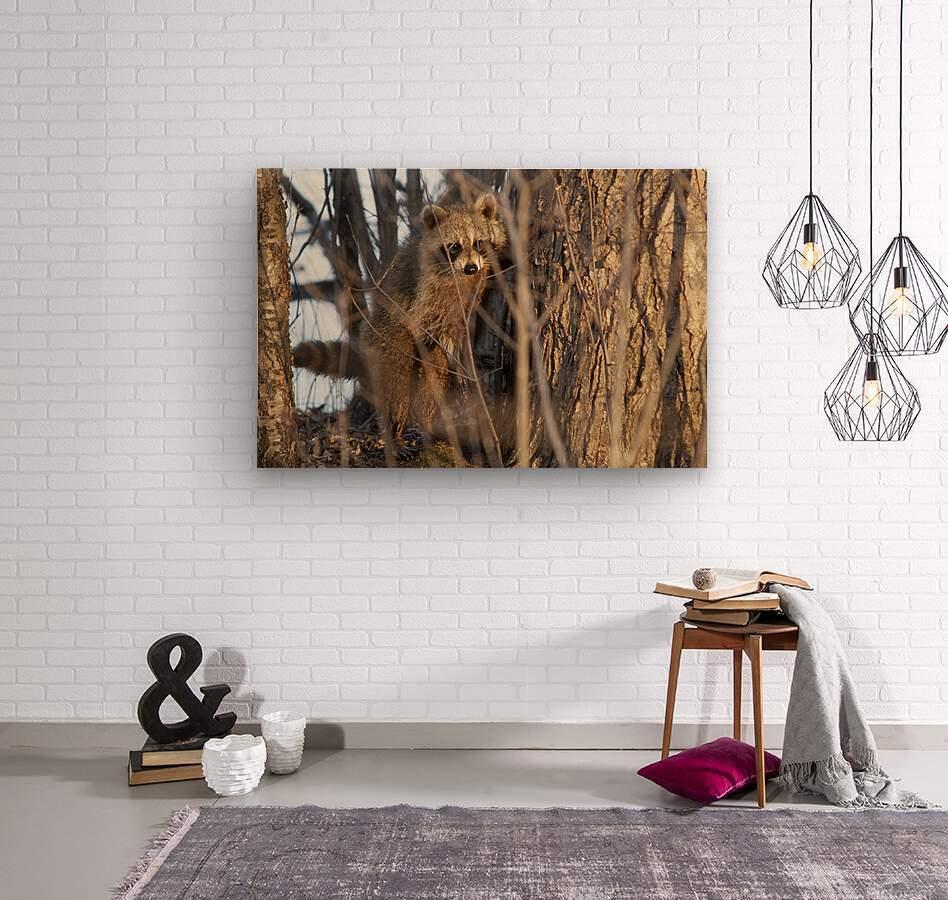Racoon peeking through twigs  Wood print