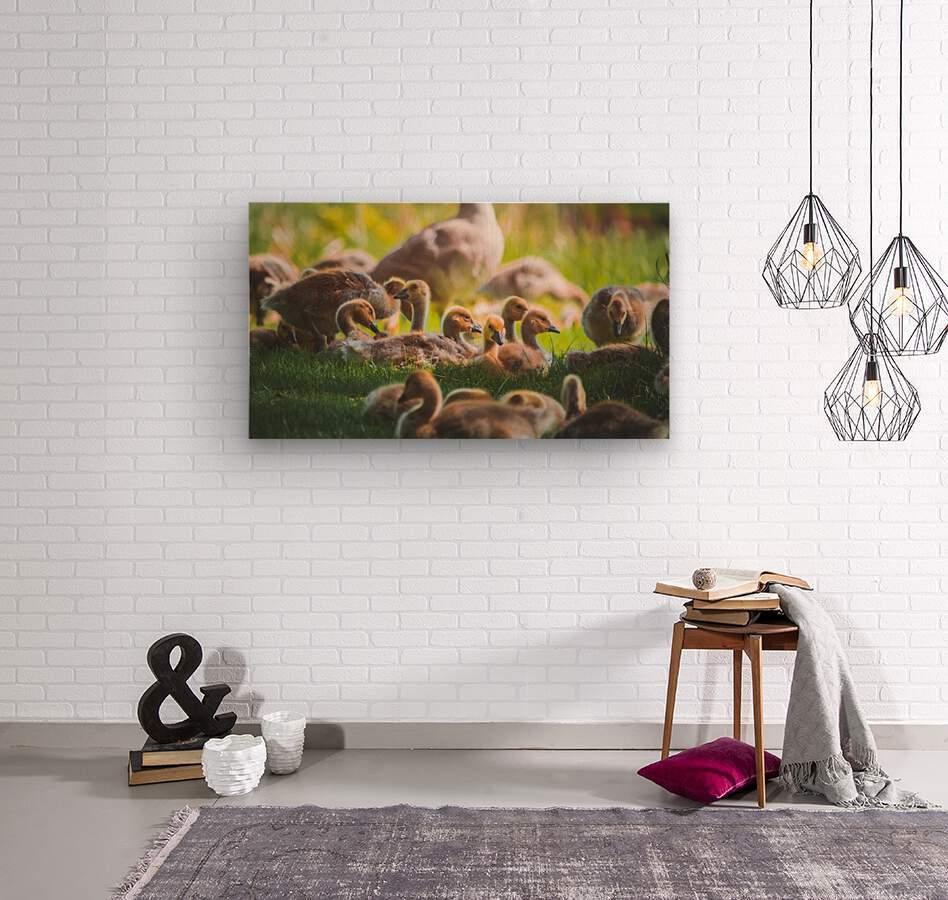 Goslings Gathered  Wood print