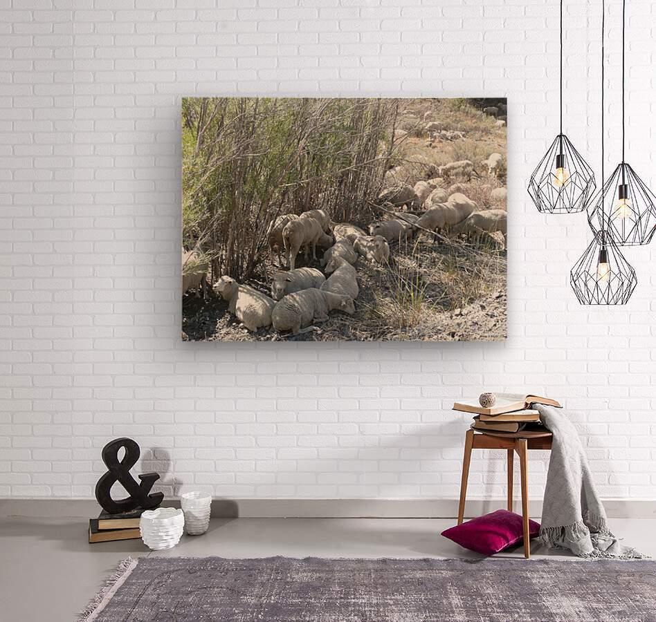 Sheep Huddle  Wood print