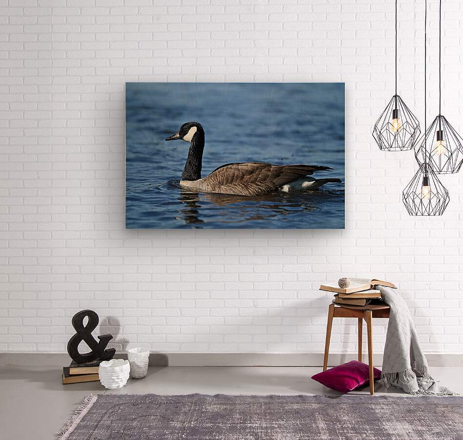 Canada Goose on water  Wood print