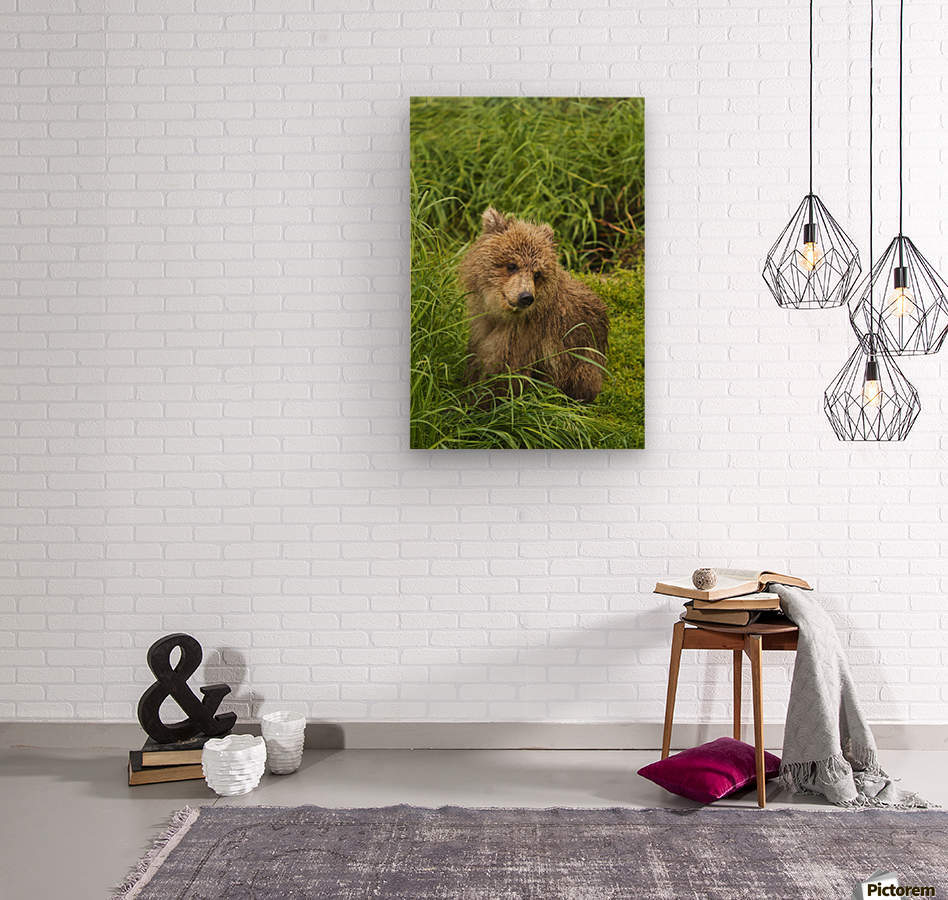Brown bear (Ursus arctos) cub close-up, sitting in grass, Katmai National Park and Preserve, Southwest Alaska, USA  Wood print