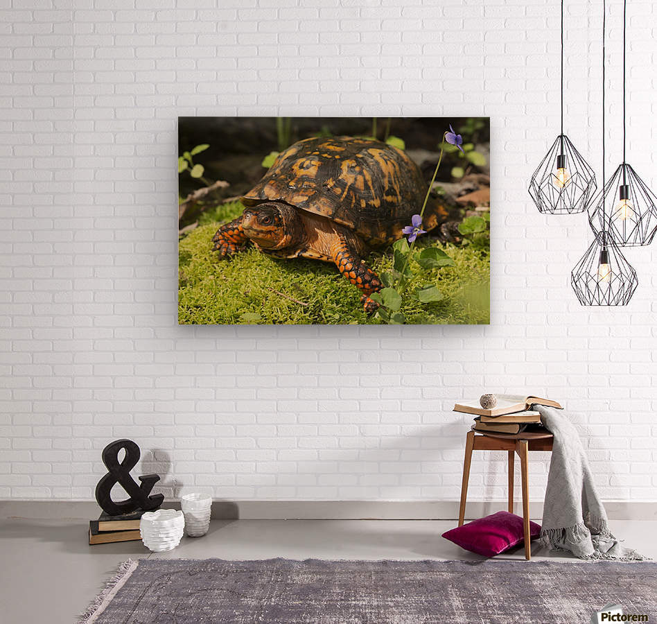 Eastern box turtle on sphagnum moss among blue violets; Connecticut, USA  Wood print