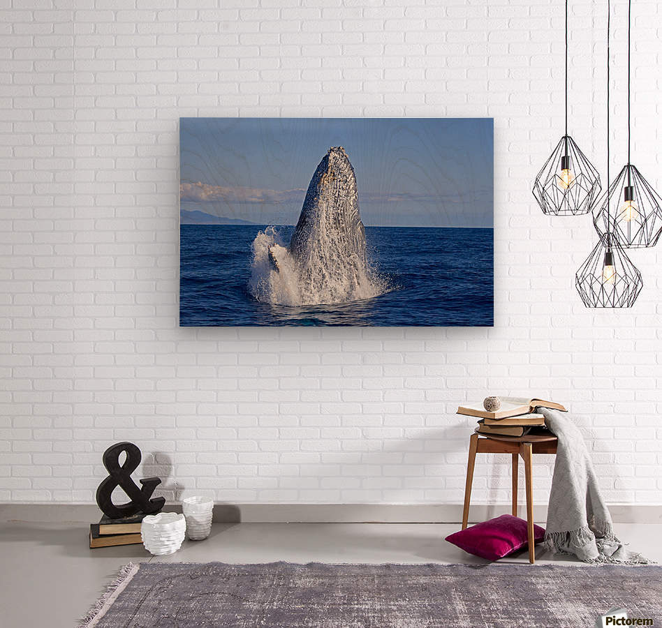 Breaching humpback whale (Megaptera novaeangliae); Maui, Hawaii, United States of America  Wood print