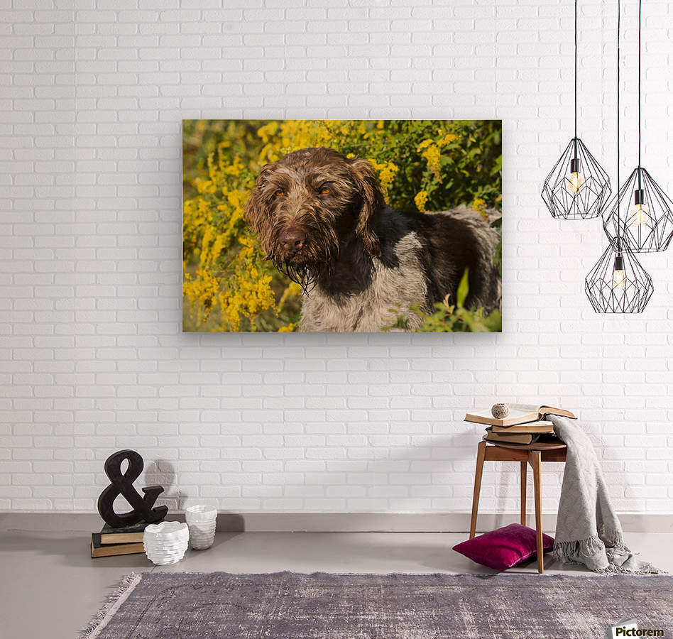 German Wirehaired Pointer in autumn; Hanover, Connecticut, United ...