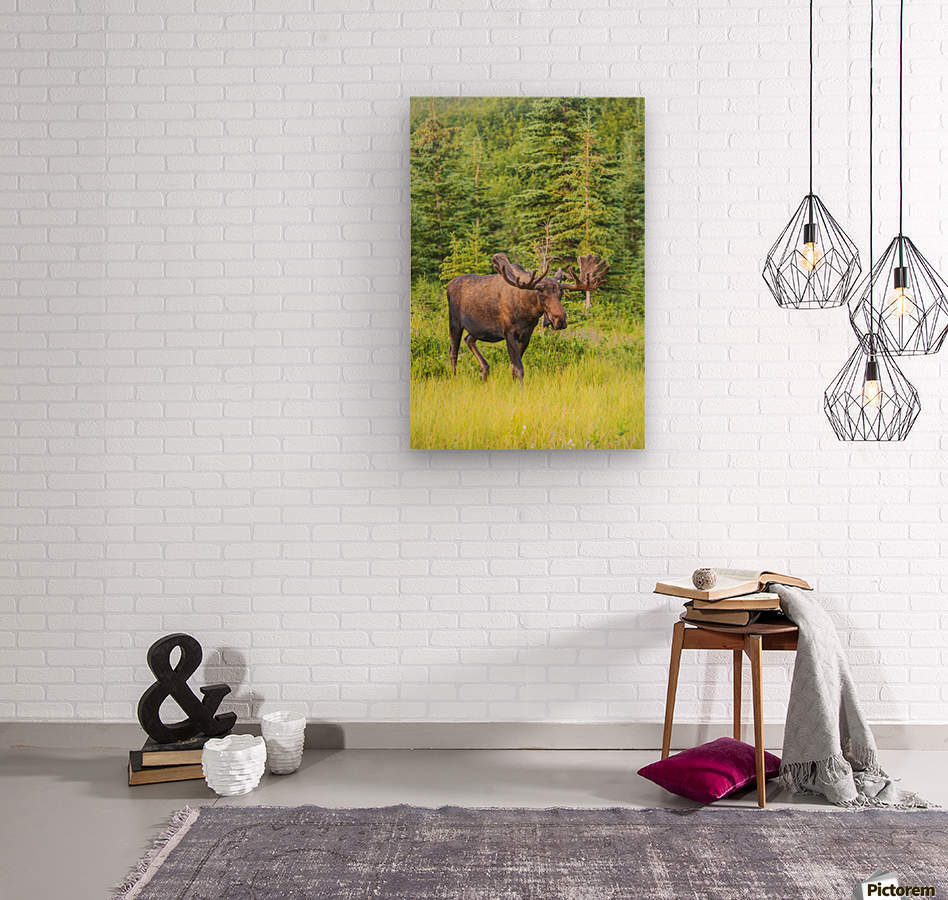 Bull moose in velvet, Kincaid Park, Anchorage, Southcentra Alaska, summer  Wood print