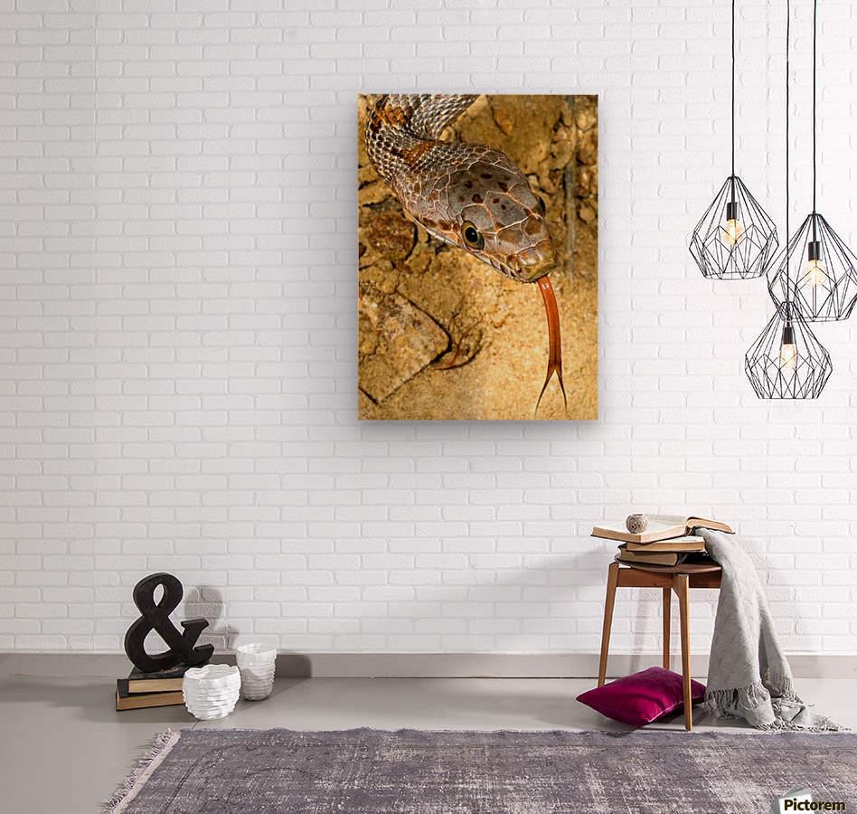 Baird's Rat Snake Tongue Flick  Wood print