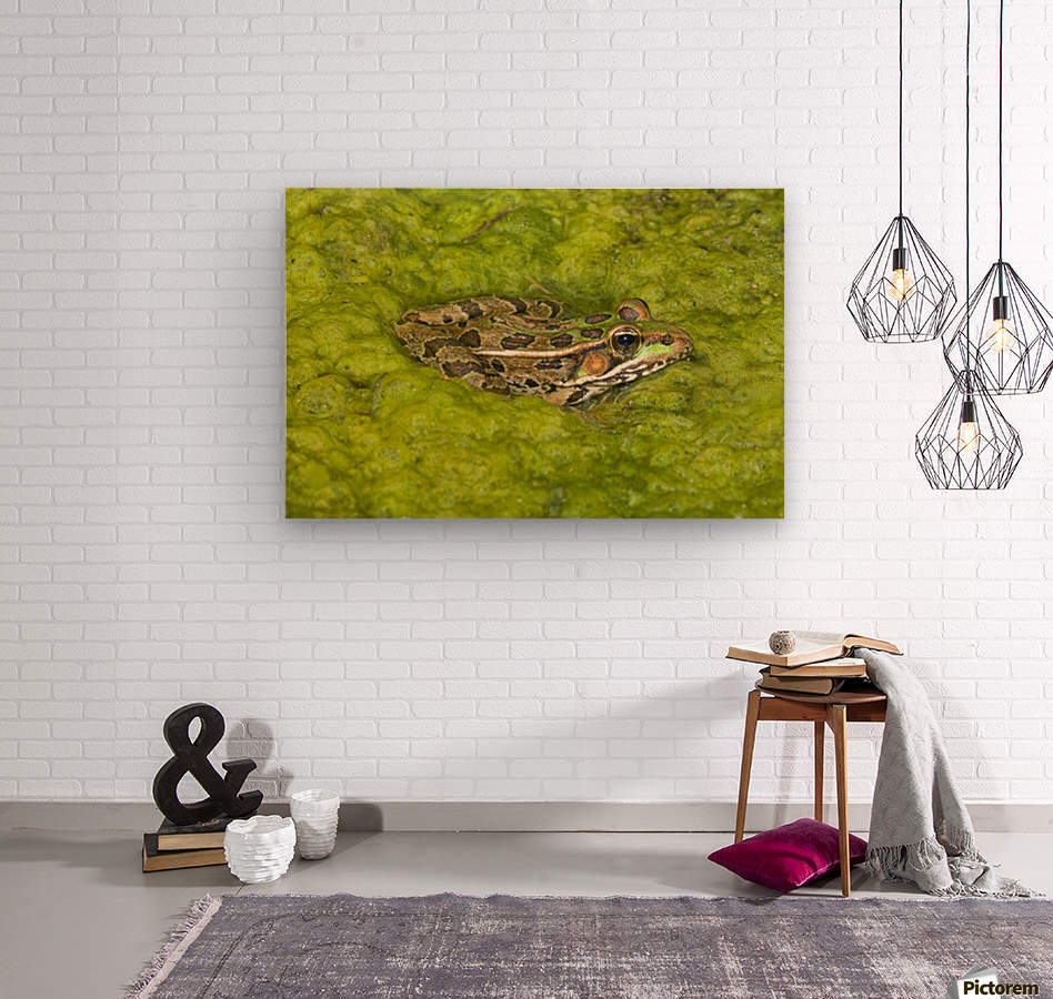 A Rio Grande Leopard Frog Sitting On A Bed Of Algae  Wood print