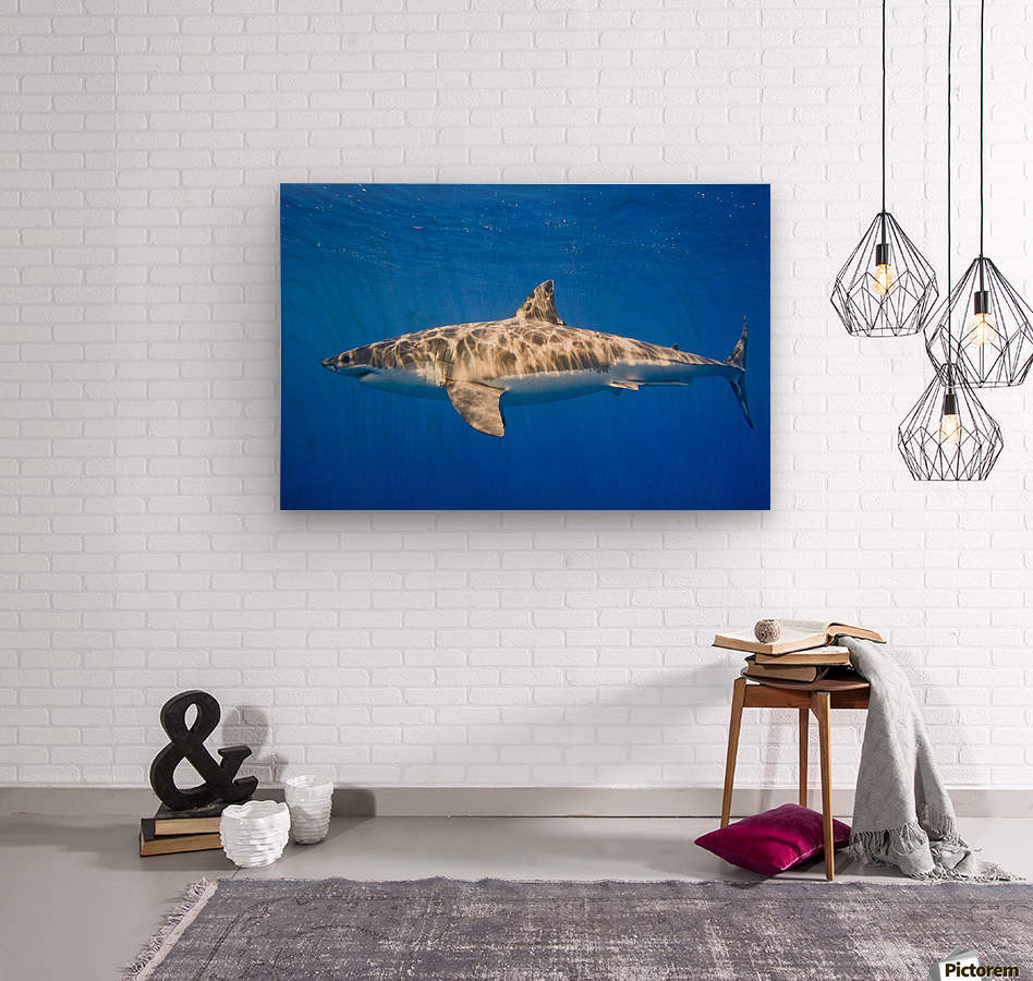 Great White Shark (Carcharodon Carcharias)  Wood print