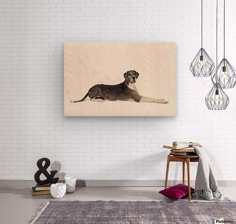 Great Dane Dog  Wood print