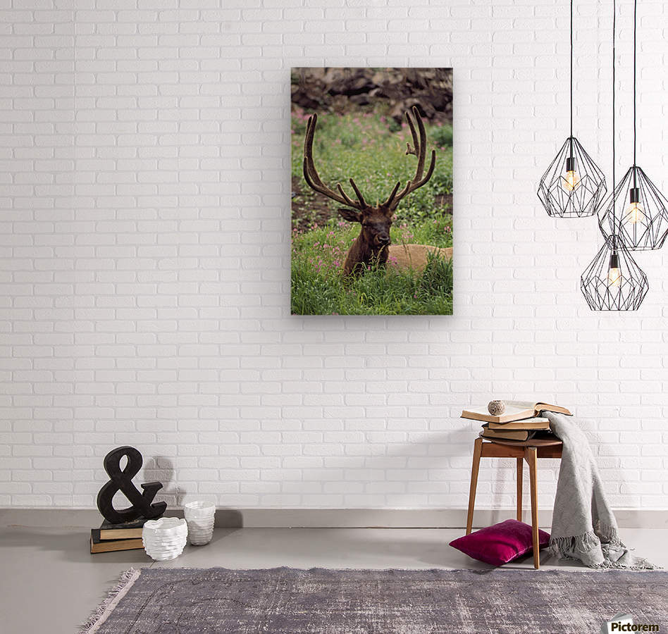 Bull Elk Resting In Alpine Meadow With Antlers In Velvet; Yellowstone National Park, Wyoming, Usa  Wood print