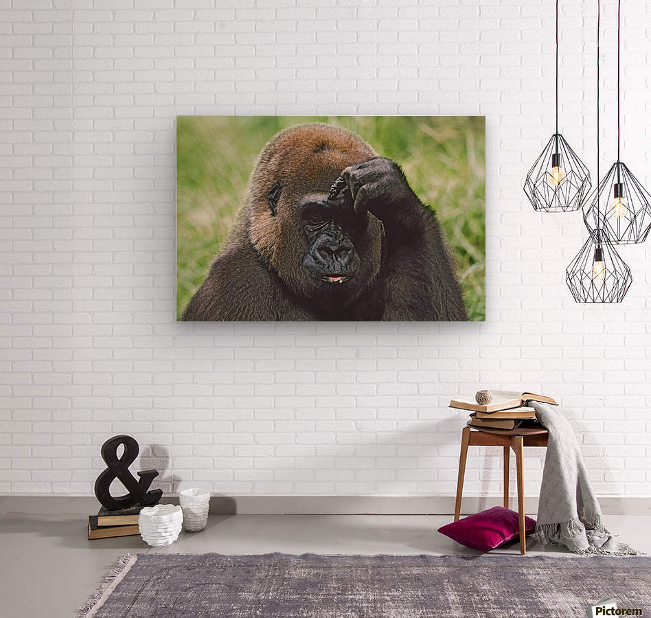 Western Gorilla Portrait With Finger On Brow As If Thinking, Africa  Wood print