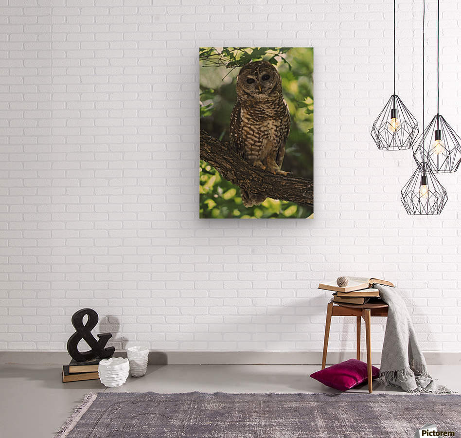 Mexican Spotted Owl On Perch In Gambel Oak  Wood print